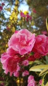 Flor de Adelfa. La primera flor que brotó tras la bomba atómica de Hiroshima